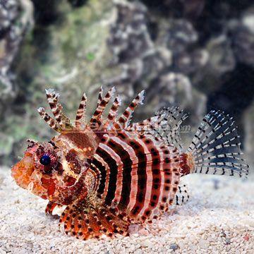 Red Fuzzy Dwarf Lionfish Dendrochirus Brachypterus Lion Fish Fish Pet Animals Wild