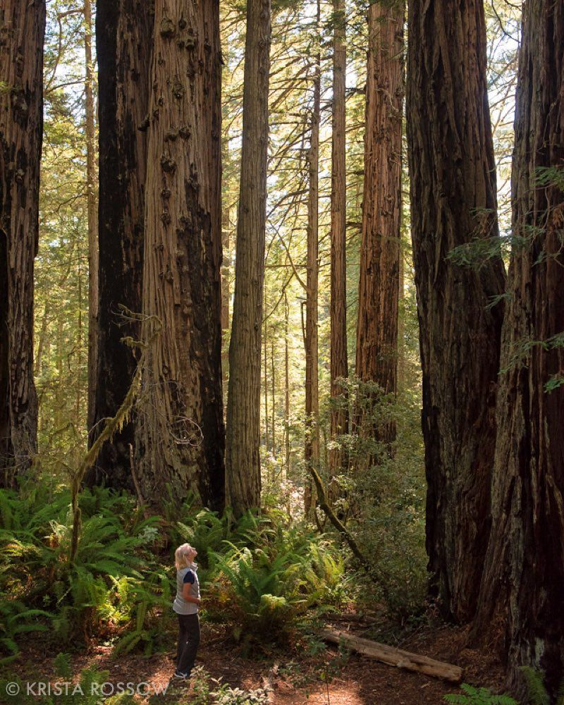 Photo by @kristarossow. Photographing in #Californias redwood forests can be a challenge but adding a person to the scene helps give a sense of scale. Here in the Lady Bird Johnson Grove in #Redwoods National Park a woman is dwarfed by the giant beautiful trees. #forest @natgeocreative by natgeotravel