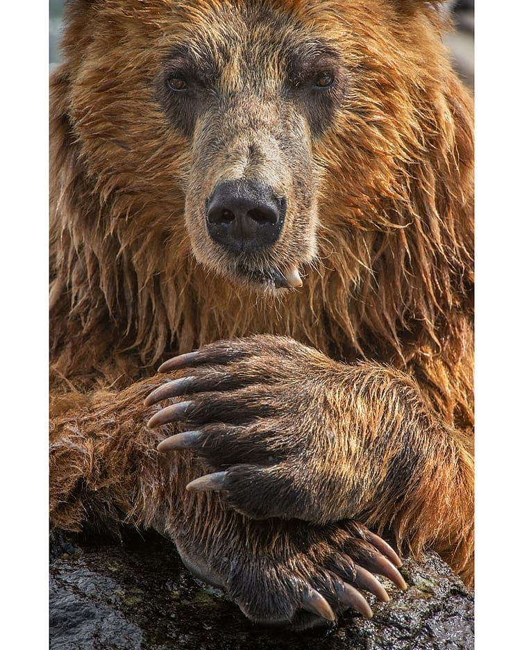 Kamchatka Brown Bear Chillin Photographically Speaking I Have A