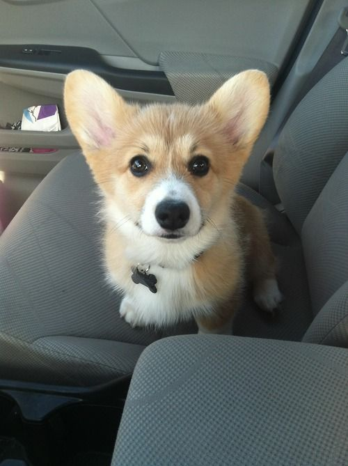 On Our Way To Puppy Class Follow Clementine Puppies Corgi