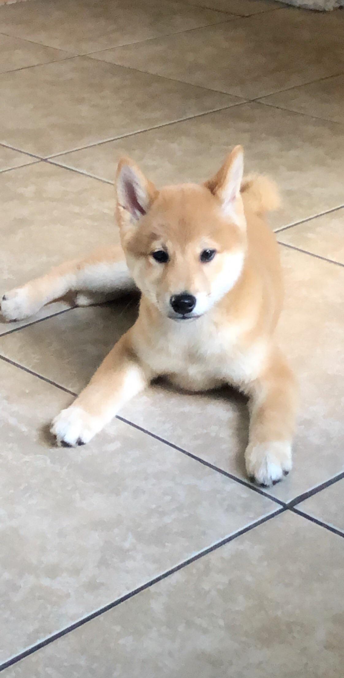 Shelby The 3 Month Old Shiba Shibainu Shibainupuppies Shiba