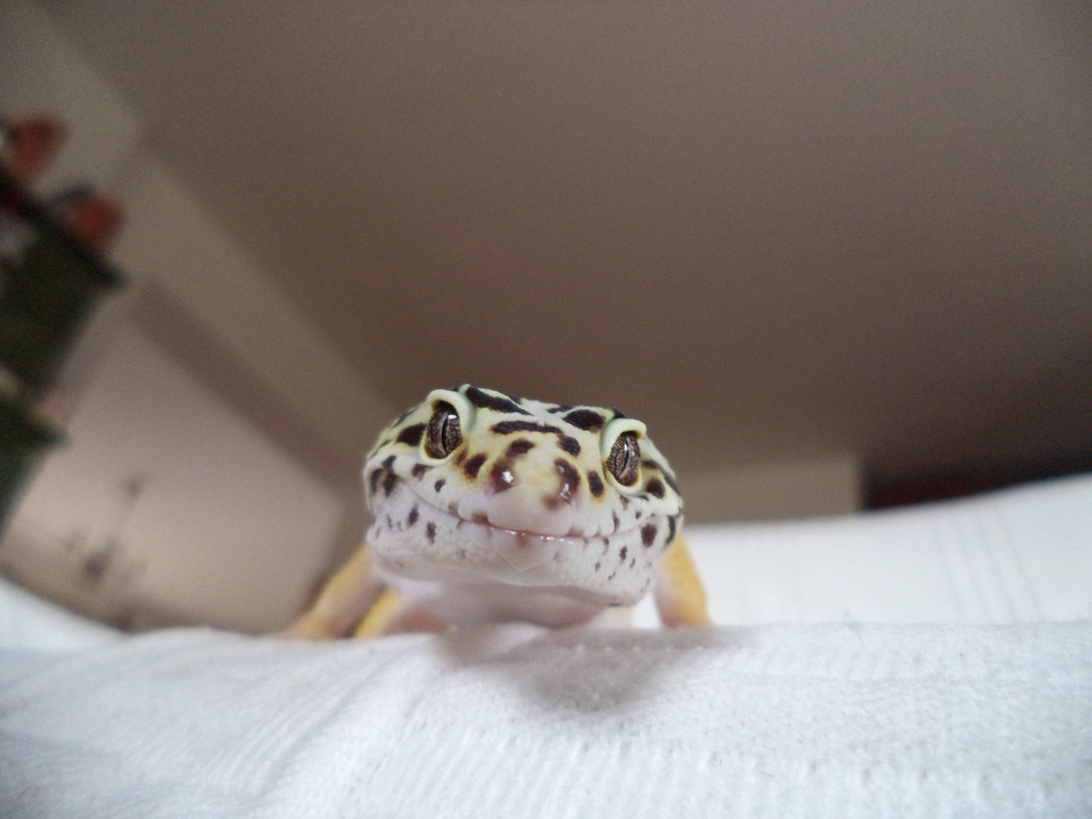 leopardgeko