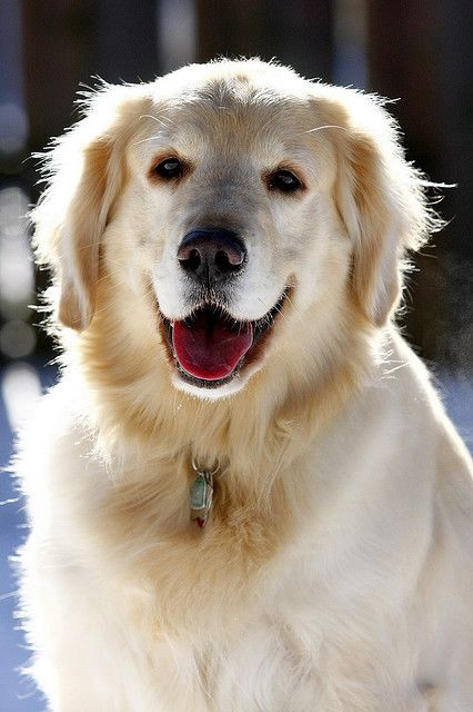 Golden retriever     Golden retrievers are terribly friendly and love people. My dog  forever loves to be with me.