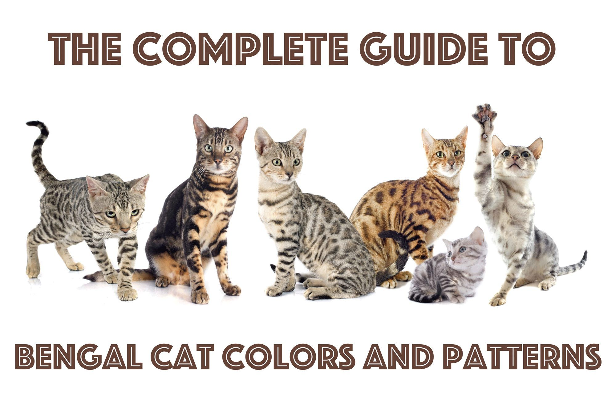 Bengal Cat Colors and Patterns in 2020 Bengal cat, Cat