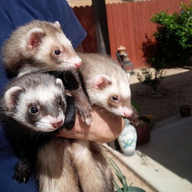 The Girls Cute Animals Fur Kids Ferret