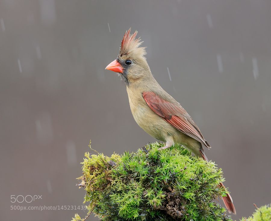 Northern Cardinal Female by ElizabethE via http://ift.tt/1pCih85