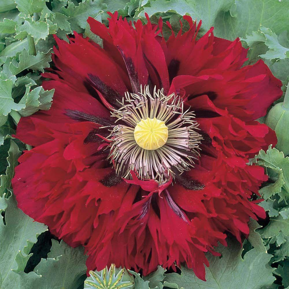 Poppy Seriously Scarlet Unikko, Kasvit, Värit