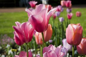 Какие цветы посадить на клумбе?   Цветы, Клумбы