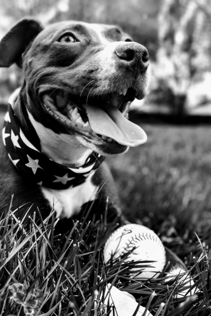 Dog With A Baseball And American Flag Bandana Labradorretriever Golden Retriever Labrador Labrador Retriever Labrador Puppy