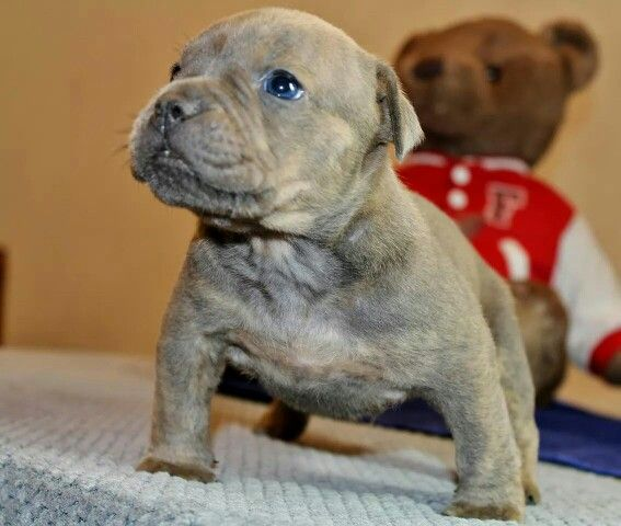 American Pocket Bully S Chocolate Blue Brindle Male Call Text