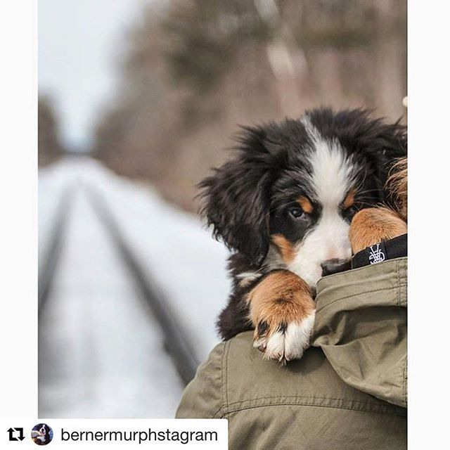 Carry Me Photo Instagram Com Bernermurphstagram Check Out Our Collection Of Awesome Dog Themed T Shirts Tanks And Hoodies In Our Pupper Mountain Dogs Dogs Dog Breeds