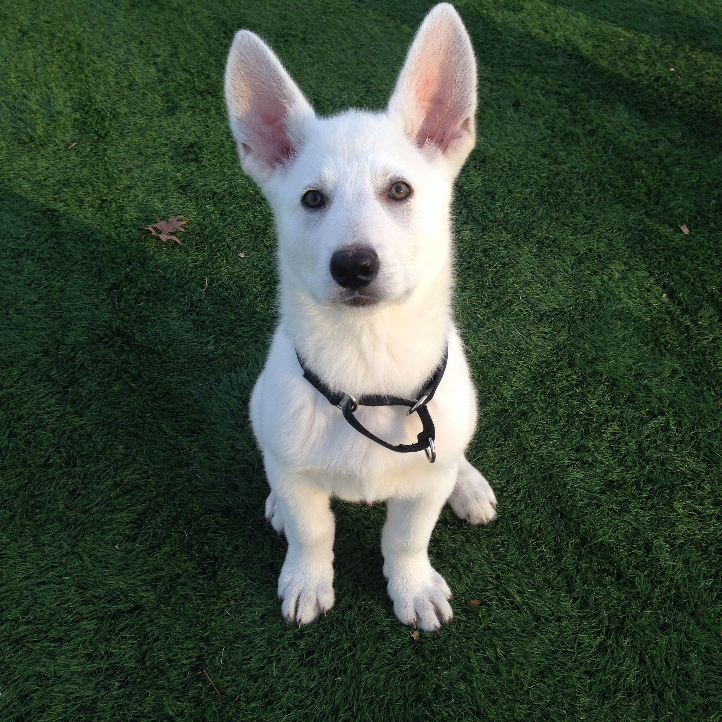 My White German Shepered Casper At 2 And Half Months White Dogs