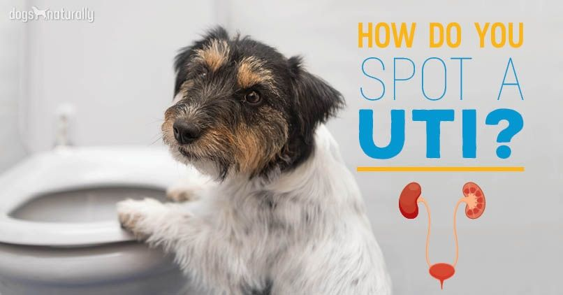 Natural Remedies For Uti In Dogs Dog Uti Dogs Dog Signs