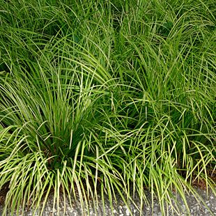 Golden Dwarf Sweet Flag Finegardening Acorus Shade Tolerant Plants Shade Plants