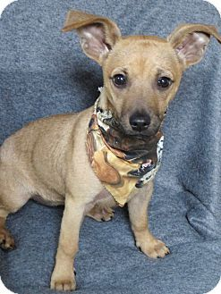 Chihuahua Dachshund Mix Puppy For Adoption In Irvine California