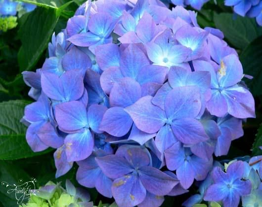 Hydrangea Flower Meaning Dictionary Auntyflo Com