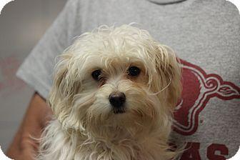 Oakville Ct Maltese Mix Meet Tampa A Puppy For Adoption Http Www Adoptapet Com Pet 10866801 Oakville Connecticut Maltes Puppy Adoption Maltese Mix Pets