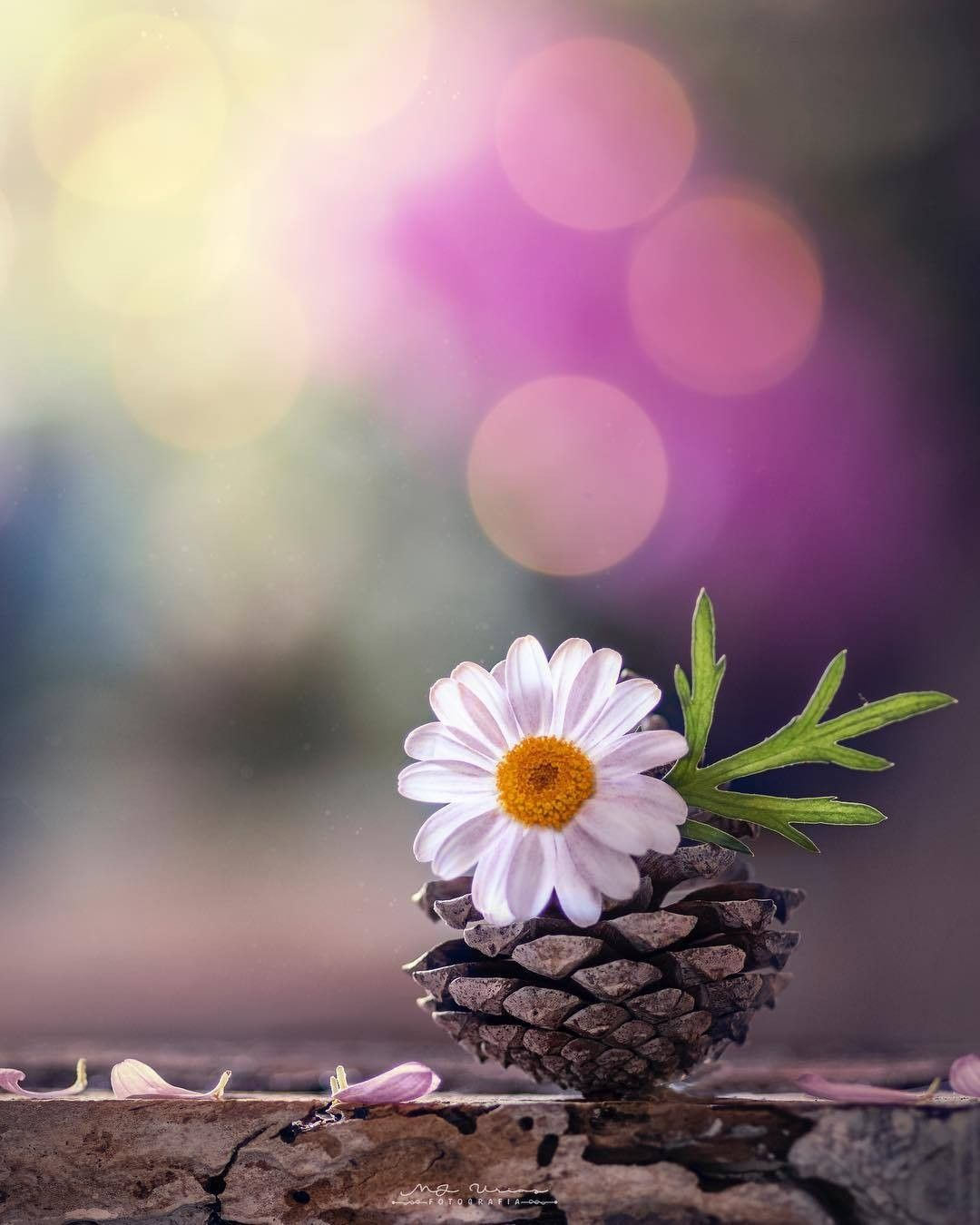 Pin By Asmaa On Daisies Flowers Photography Beautiful Flowers Wallpapers Flower Backgrounds