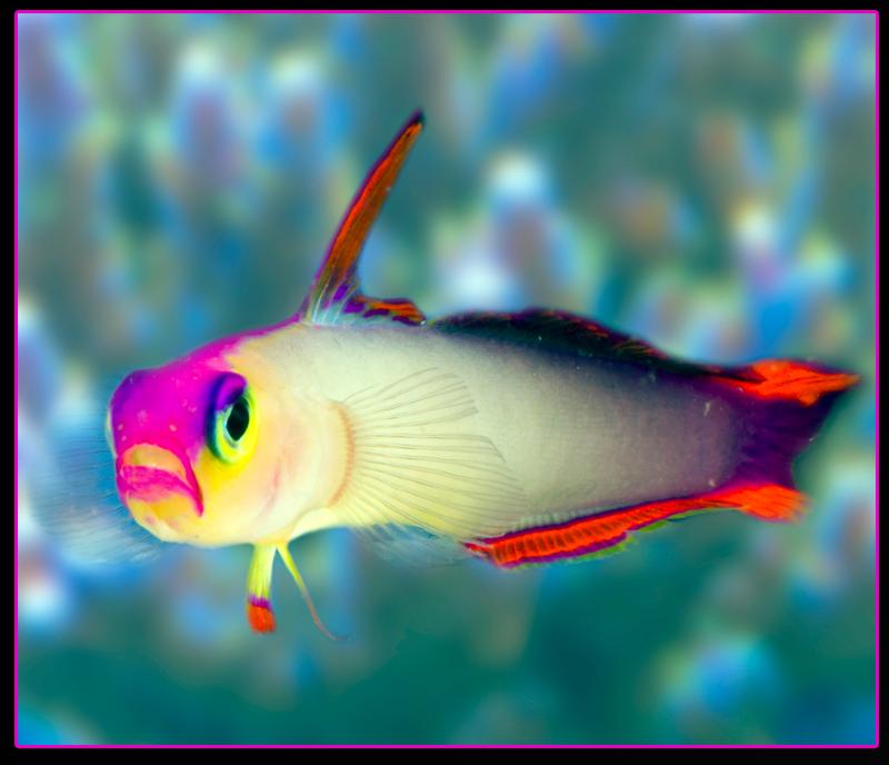 Flame Firefish Goby Aka Purple Firefish Nemateleotris Decora Saltwater Fish Tanks Salt Water Fish Marine Aquarium