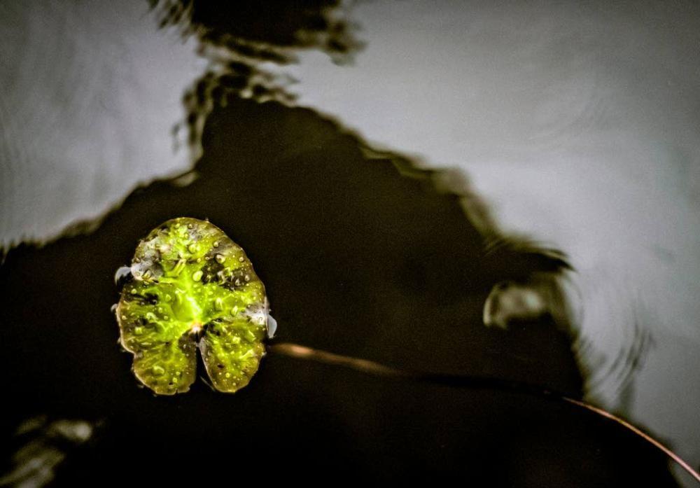 Lammikin lehdet muistuttavat kutistettuja ulpukanlehtiä.
