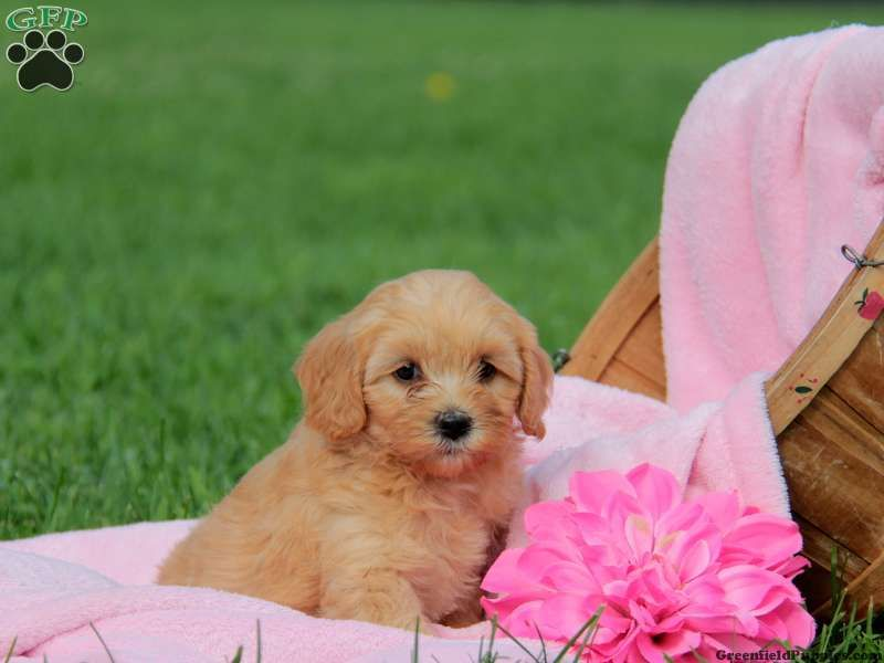 Cockapoo Puppies For Sale In Pa Cockapoo Puppies Cockapoo