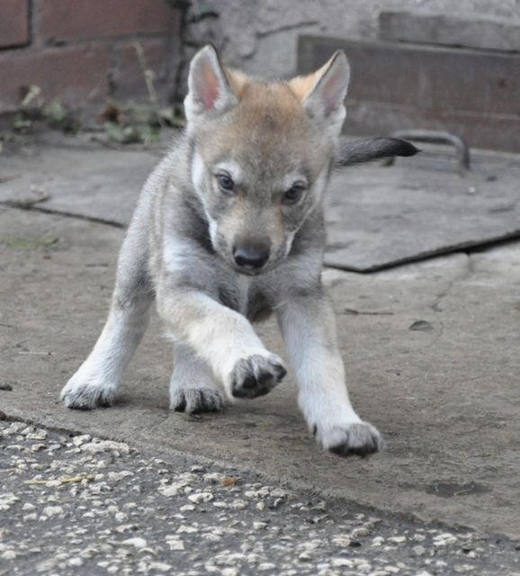 Pictures Of Czechoslovakian Wolfdog Dog Breed Oh Puppy Puppy Puppy Wolf Dog Dog Breeds Dogs