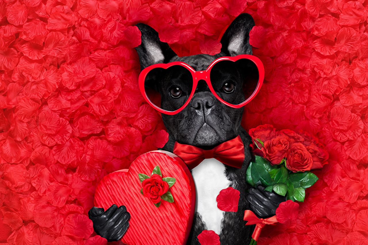Wallpapers Bulldog Valentine S Day Dogs Heart Bouquets Roses Petals Bow Tie Eyeglasses Animals Red Backgroun Valentines Day Dog Dog Valentines Animal Valentine