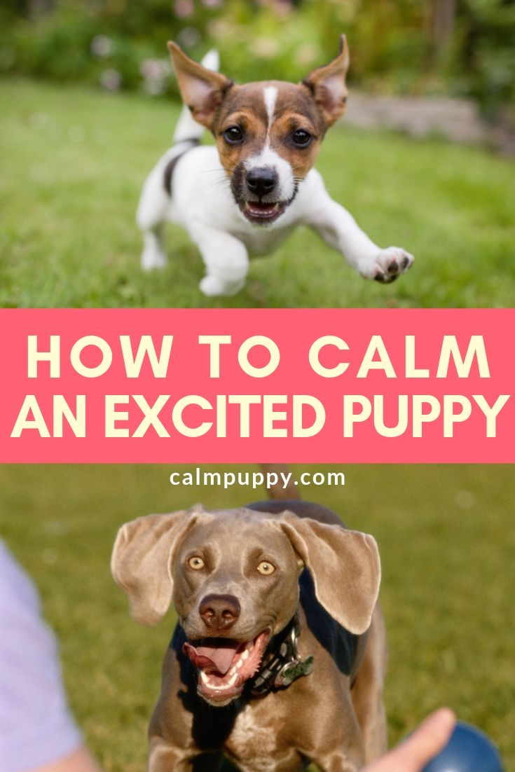 How To Calm Down An Excited Puppy Calm Puppy Excited