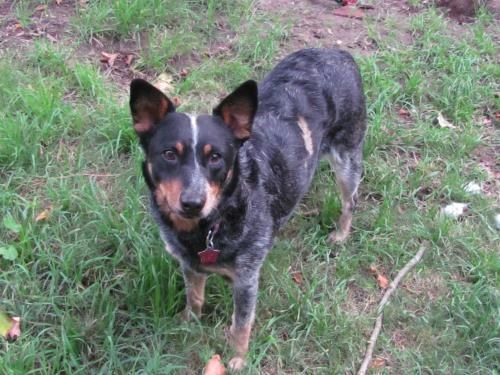 Meet Miss Kitty An Adoptable Australian Cattle Dog Blue Heeler