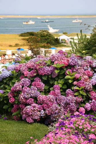 Beautiful Hydrangeas display & the ocean in Chatham, a
