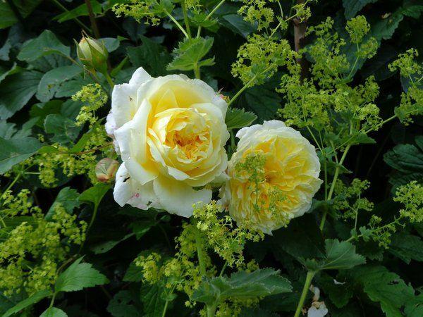 "Rosa ""The Pilgrim"" & Alchemilla"