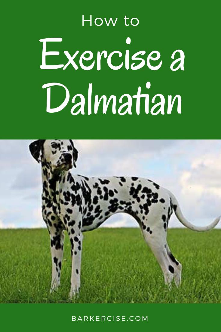How To Exercise A Dalmatian In 2020 Dog Exercise Dalmatian Puppy Dalmatian