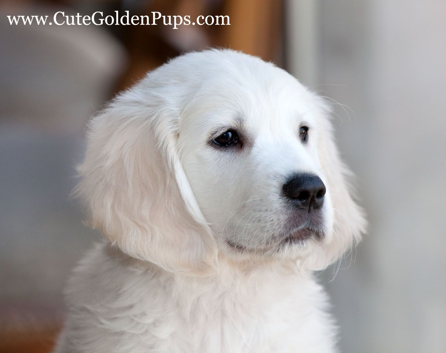 Pin By Jennifer Sperrazza On Puppies White Golden Retriever Puppy Golden Retriever White English Golden Retrievers