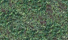 Textures Texture Seamless Green Hedge Texture Seamless 13091