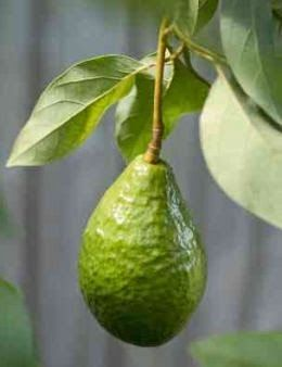 How to Grow Avocados Indoors and Out....!!!!