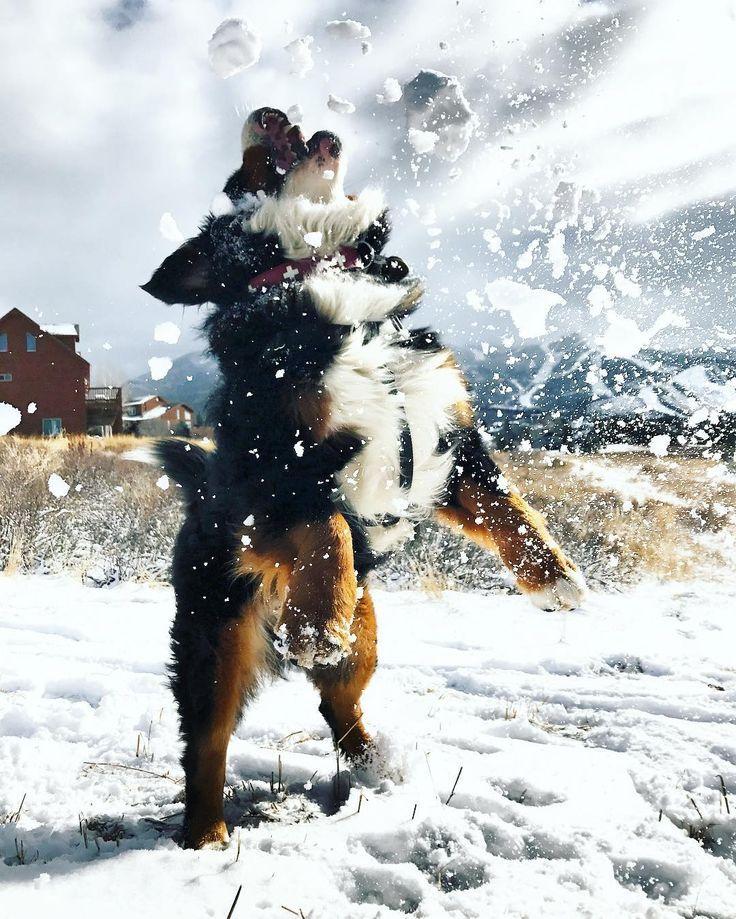oh the fun | Bernese mountain dog puppy, Bernese dog ...
