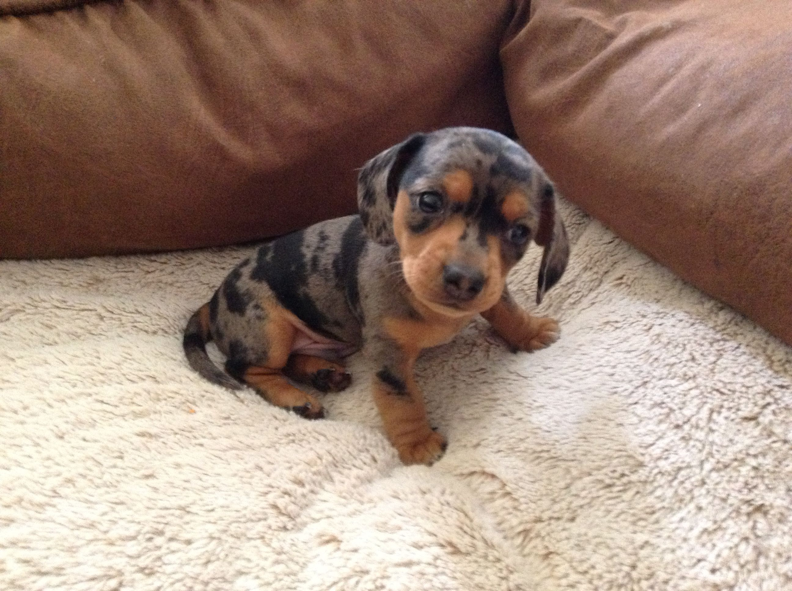 Adorable doxie baby dachshund love cutest puppy ever