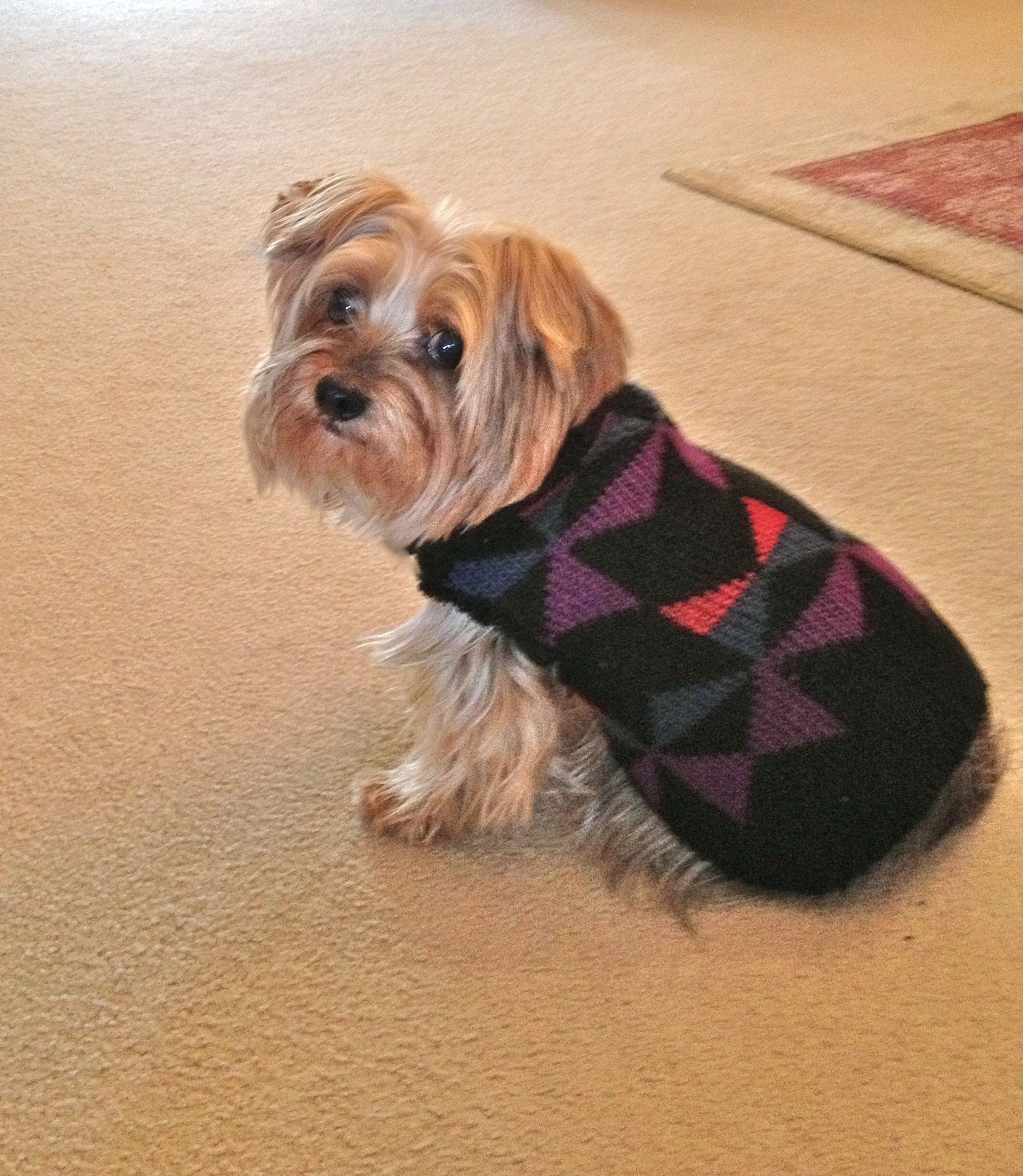 My homemade dog sweater. I cut off the sleeve of one of my husband's old sweaters, cut out two armholes. and after that I turned up the cuff of the sweater sleeve to make a turtleneck. The boy dog sweaters might need a little trimming on the underside so they don't get it wet. These are so easy and no sewing involved