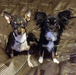 Adopt Callie Cujo On Chihuahua Dogs Chihuahua Dogs