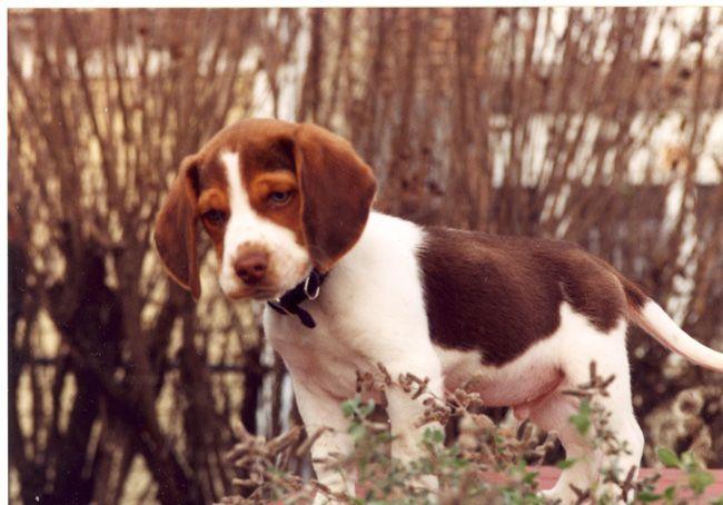 Pup In The Garden Beagle Hound Beagle Puppy Hound Dog