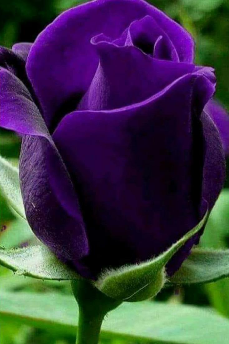 Purple Rose For You Purple Flowers Purple Roses Flowers