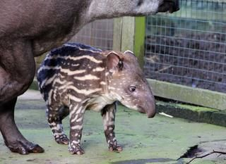 Новорожденный детеныш тапира