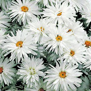 Chrysanthemum White Crazy Daisy Flower Seeds 50 Perennial Ox Eye Daisy