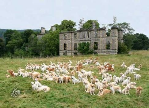222 Golden Retrievers Meet Up In Scotland Dog Friends Scotland
