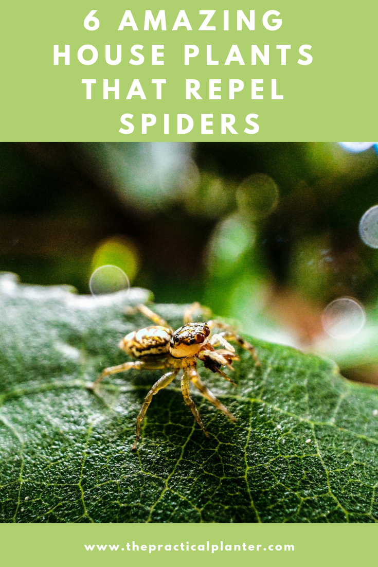 6 Amazing House Plants that Repel Spiders | Best of The ...