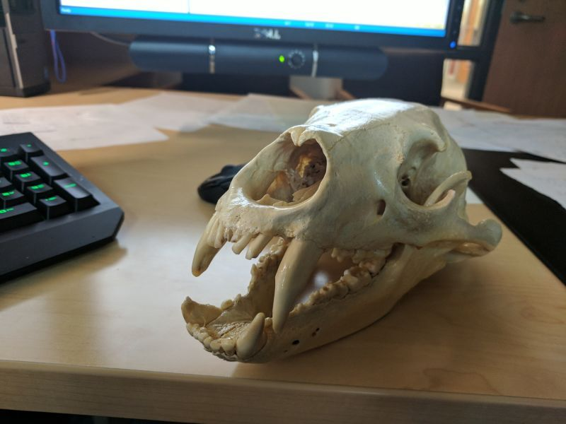 How to clean animal bones so you may proudly display them