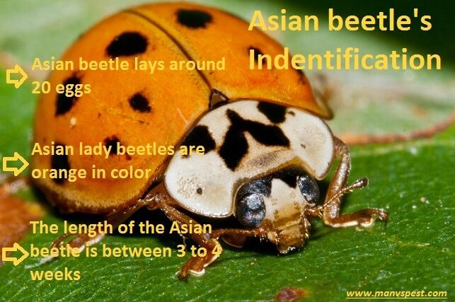 Asian lady beatle identification