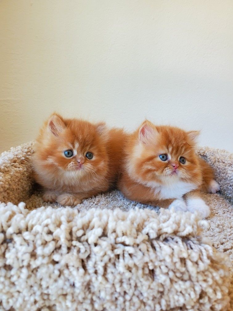 Pin By Doll Face Persian Kittens Ww On Cute Persian Kittens Cute Cats And Dogs Kittens Cutest Beautiful Kittens