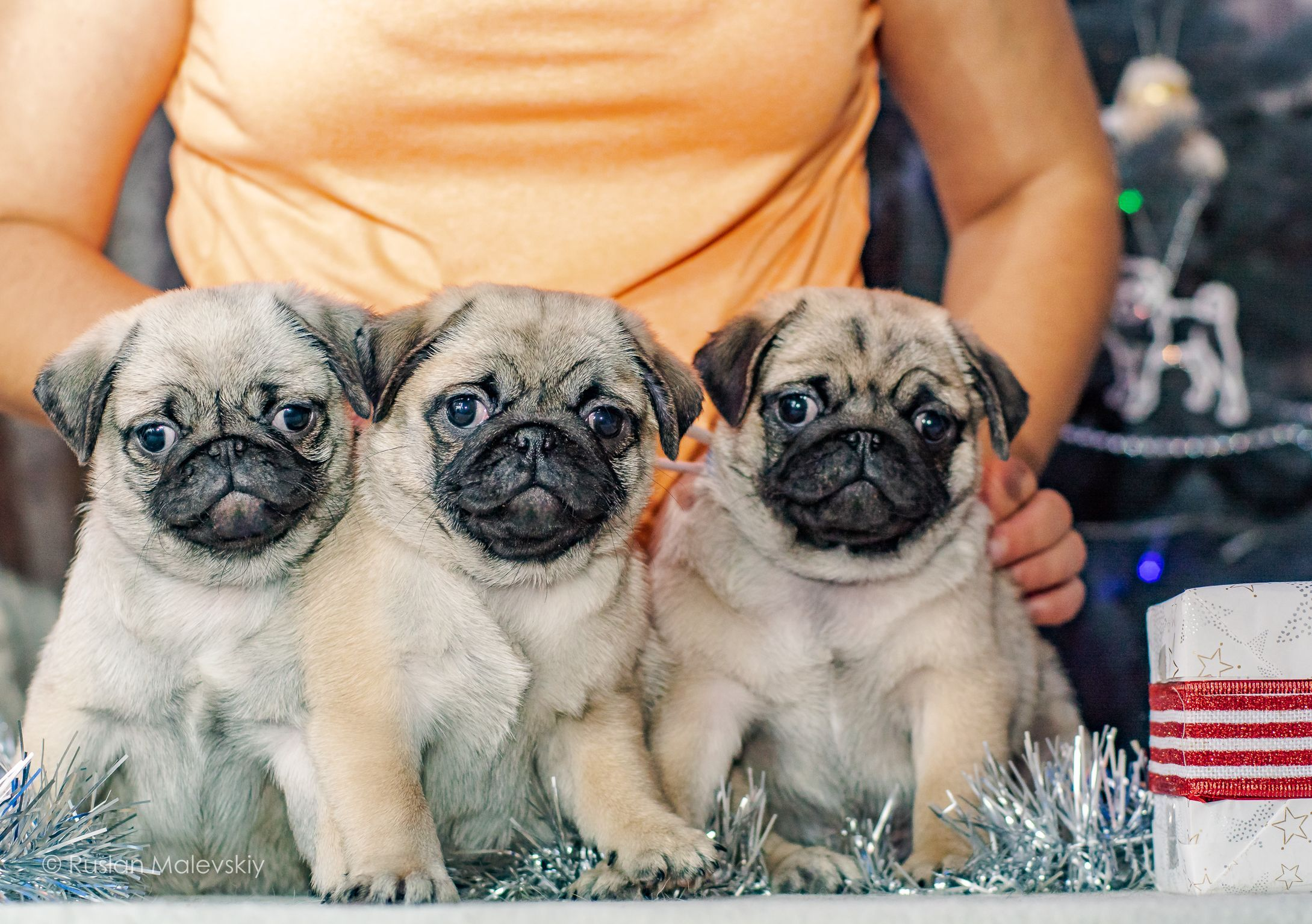What Can Be Better Than A Pug Puppy Three Pug Baby Pug