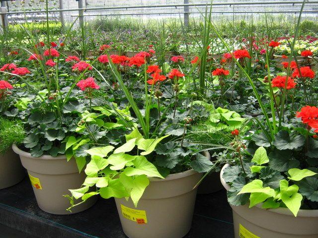 Sweet Potato Vines In Patio Pots | Plants U003e Patio Planters U003e Geranium:  Combination